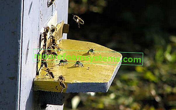 Uzgoj crvenih zidara pčela korak po korak - praktični vodič