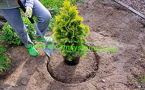 """Az """"Emerald"""" tujákák ültetése sövényre - gyakorlati útmutató"""