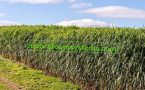 Miscanthus giganteus (Miscanthus giganteus) - výsadba, pěstování, péče, požadavky na půdu