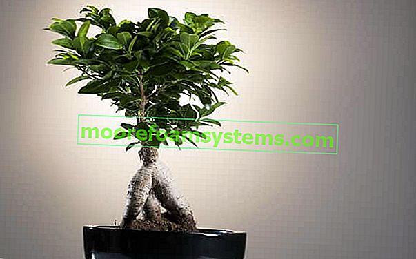 Ficus ginseng (tompa ficus) - termesztés, ápolás, öntözés, metszés, ár
