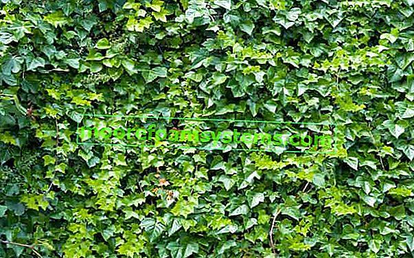 Vytrvalé stále zelené popínavé rostliny - odrůdy, výsadba, pěstování, péče
