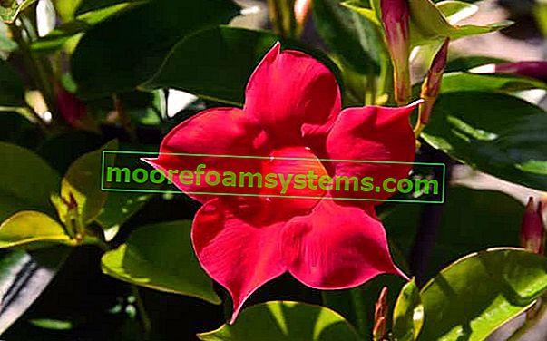 Sundaville virágok - ültetés, termesztés, gondozás, szaporítás, metszés