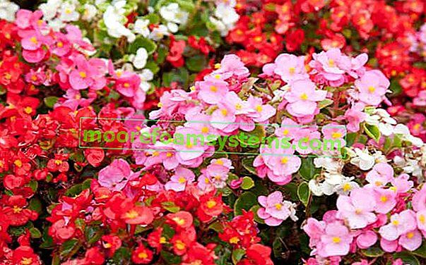 Begonia Dragon - poloha, požadavky, kultivace, péče a zimování této krásné květiny