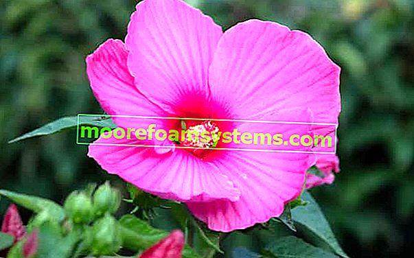 Mocsári hibiszkusz - termesztés, gondozás, telelés, követelmények