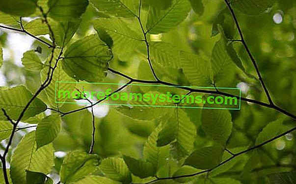Éger a kertben - ültetés, gondozás, fa felhasználása