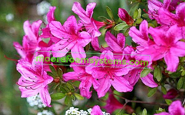 Zahradní azalka - požadavky, umístění, pěstování, péče, rady