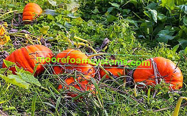 Dýně na zahradě - odrůdy, výsadba, pěstování, péče