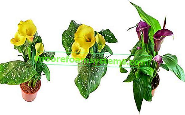 Pot Kalia - egy virág, amely minden otthon kedvére szolgál - gondozás, öntözés, tanácsadás
