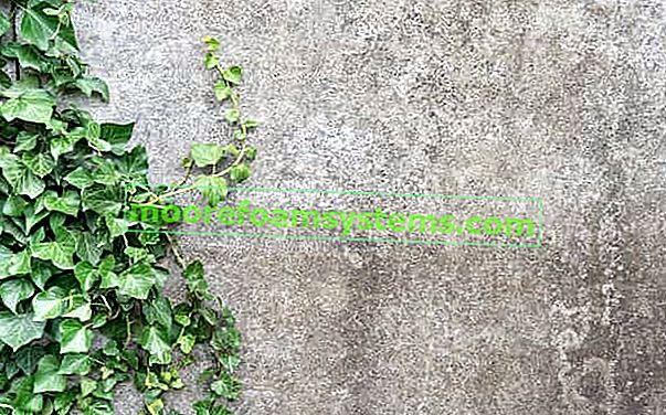 Irský břečťan (Hedera hibernica) - výsadba, pěstování, péče
