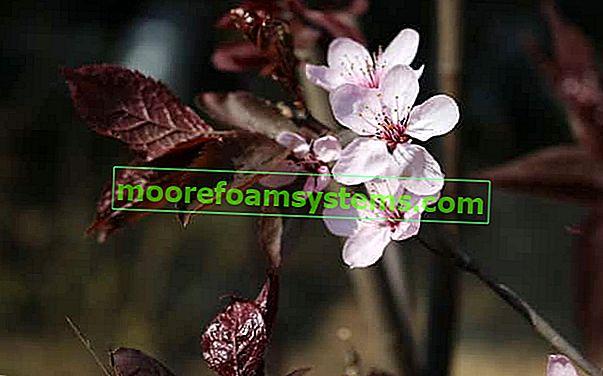 Třešňová švestka - odrůdy, pěstování, péče, řezání, cena