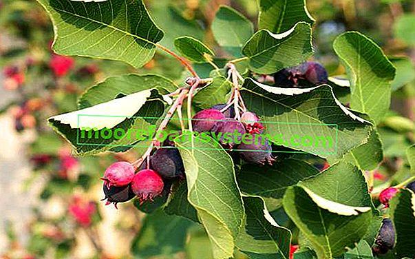 Swingerek - fajták, termesztés, tartósítás, ápolás
