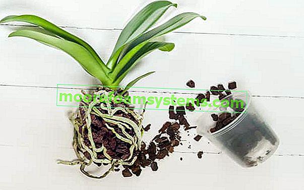 Reprodukce orchidejí - jak naočkovat orchidej krok za krokem
