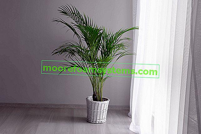 Dypsis lutescens (Areca Palm) - pěstování, péče, cena, přesazování