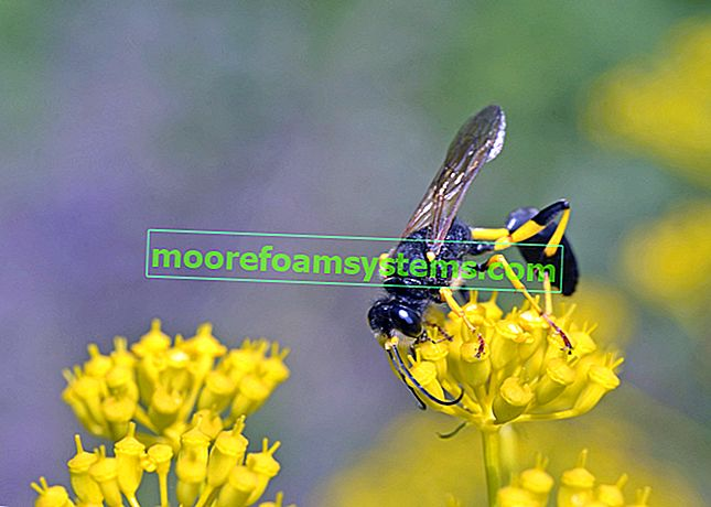 Fali zsaru - darázsszerű rovar - leírás, előfordulás