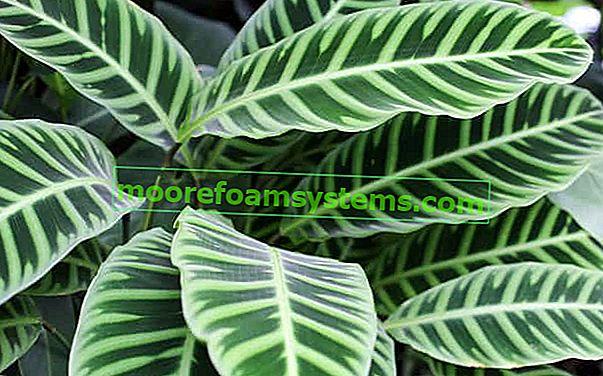 Calathea (Calathea) - odrůdy, pěstování, péče, zalévání