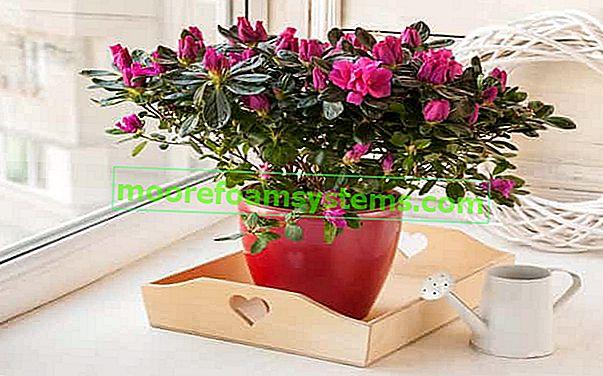 Rhododendron v květináči - na terase a balkoně - pěstování, péče, zimování