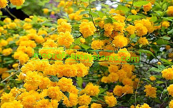 Japán aranyvessző - bokor leírása, termesztése, gondozása, vágása, tanácsadás