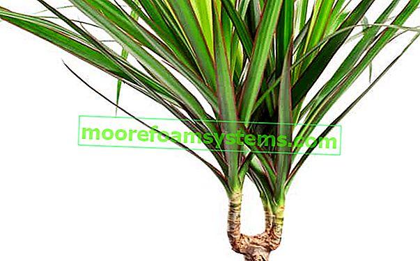 Dracaena fringe (marginata) - pěstování, zalévání, péče, prořezávání