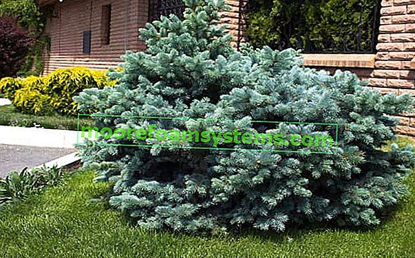 Ezüst lucfenyő (tüskés) - ültetés, termesztés, követelmények, gondozás, ár