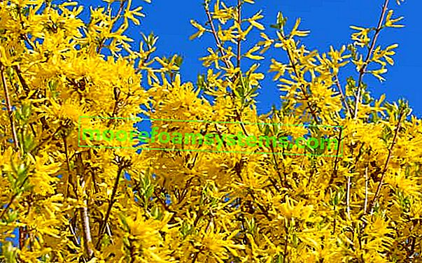Forsythia - fajták, termesztés, vágás és szaporítás lépésről lépésre