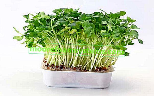 Řeřicha - výsadba, pěstování, vlastnosti, aplikace