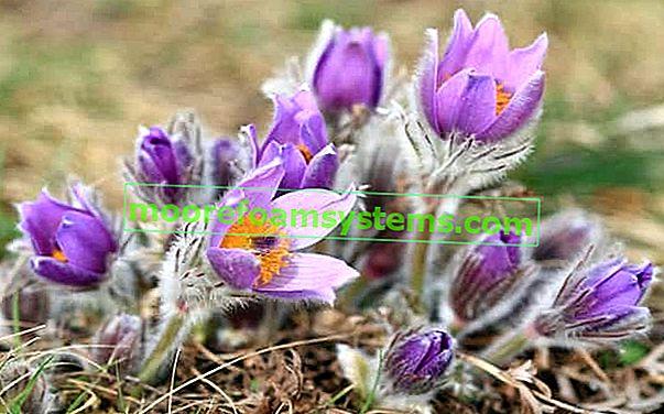 Pasque virág a kertben - ültetés, termesztés, gondozás