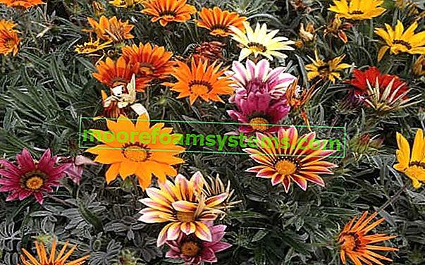 Květina Gazania - cena, odrůdy, setí, pěstování, péče a reprodukce