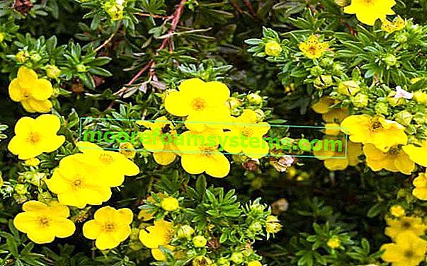 Shrubby cinquefoil - odrůdy, pěstování, péče, prořezávání, reprodukce