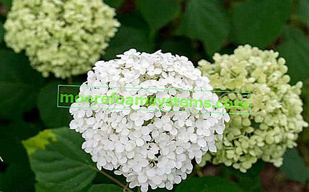 Hydrangea 'Annabelle' - výsadba, pěstování, péče, prořezávání