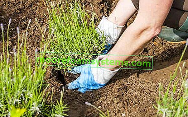 Výsadba levandule krok za krokem - termíny, půda, přesazování, tipy