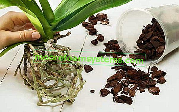 Krok za krokem opětovná výsadba orchidejí - praktický průvodce