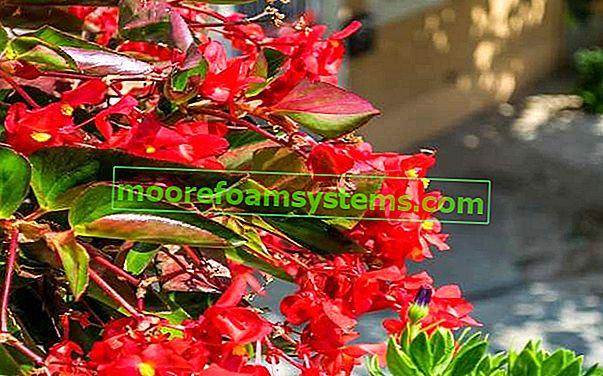 Neustále kvetoucí begonia - pěstování, péče, reprodukce, odrůdy