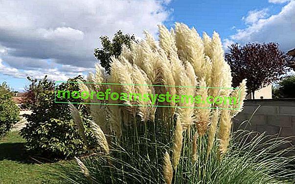 Pampas fű - termesztés, ápolás és egyéb tippek