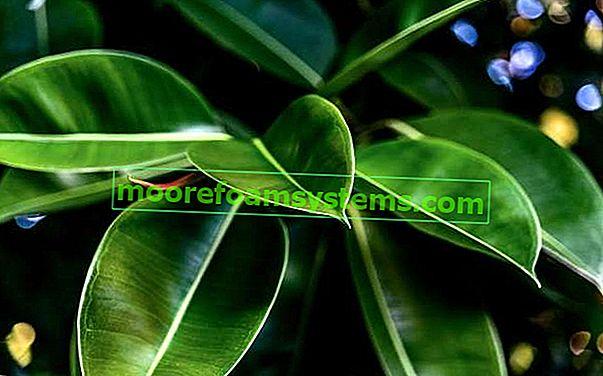 Jarní fíkus - pěstování, péče, rady
