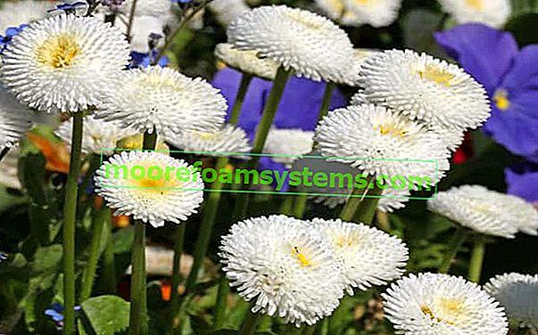 Sedmikrásky v domácnosti a na zahradě - pěstování, péče, požadavky, rady