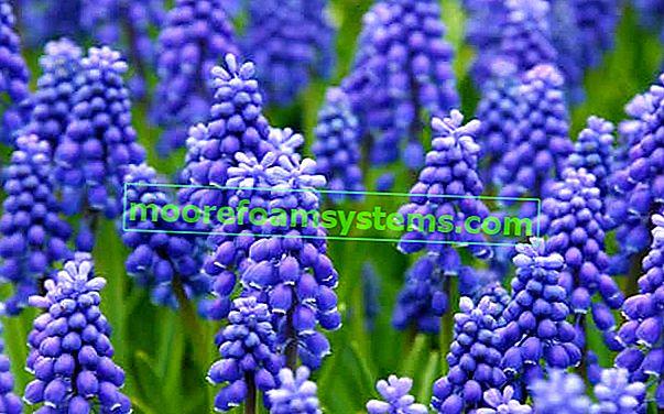 Hroznový hyacint - odrůdy, výsadba, pěstování, péče, rady