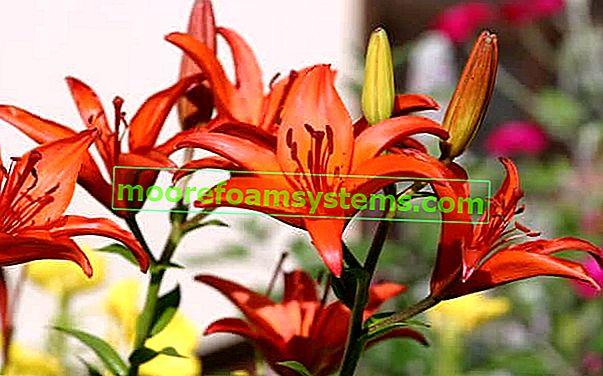 Ázsiai liliom - fajták, ültetés, termesztés, gondozás