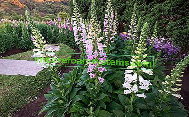 Lisica - sorte, sadnja, uzgoj, razmnožavanje, zahtjevi