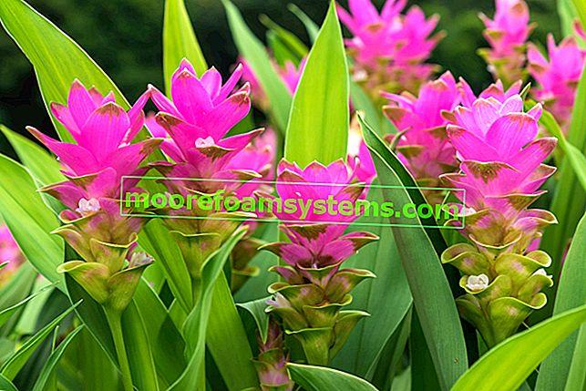 Cvijet kurkume u loncu - uzgoj, njega, praktični savjeti