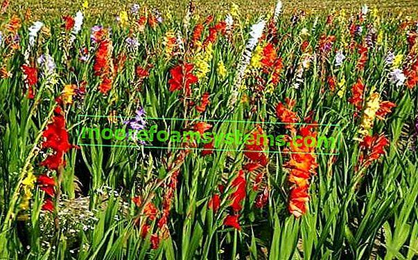Gladiolus - sadnja, uzgoj, njega