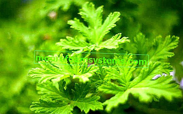 Geranium (angina) - ljekovita svojstva, uzgoj, zanimljivosti