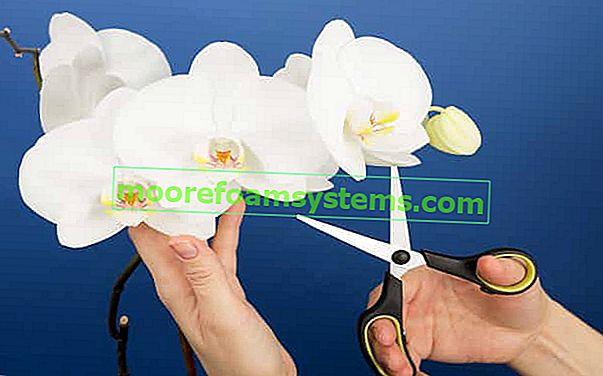 Kako orezati orhideje korak po korak - praktični vodič