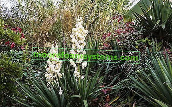 Vrtna juka - njega, zalijevanje i presađivanje popularne zatvorene biljke