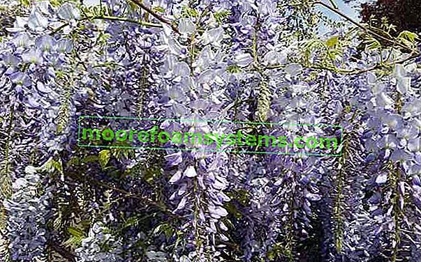 Kineska glicinija - uzgoj, njega, zahtjevi, savjeti