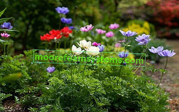 Koronarna anemona (anemone) - sadnja, uzgoj, njega, savjet