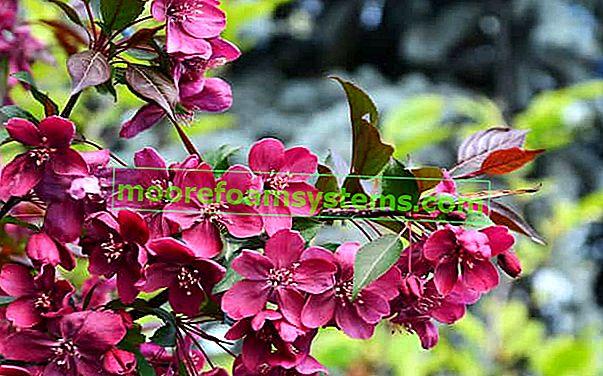 Rajsko stablo jabuka - uzgoj, briga, popularne sorte lijepog grma