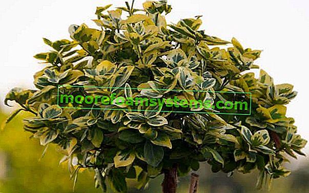 Euonymus cijepljen na deblo - uzgoj, njega, orezivanje, savjet