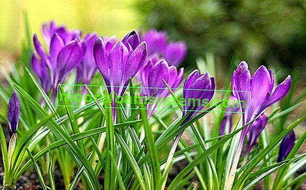 Najljepše proljetne biljke u vašem vrtu - pregled
