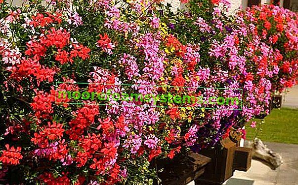 Pelargonije vise na balkonu - sadnja, njega, sorte