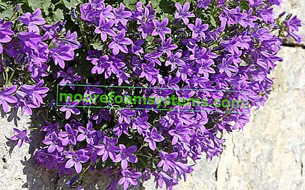 Dalmatinski zvončić - sadnja, uzgoj, njega, zalijevanje, praktični savjeti